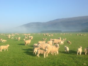Ewes and lambs on green grass